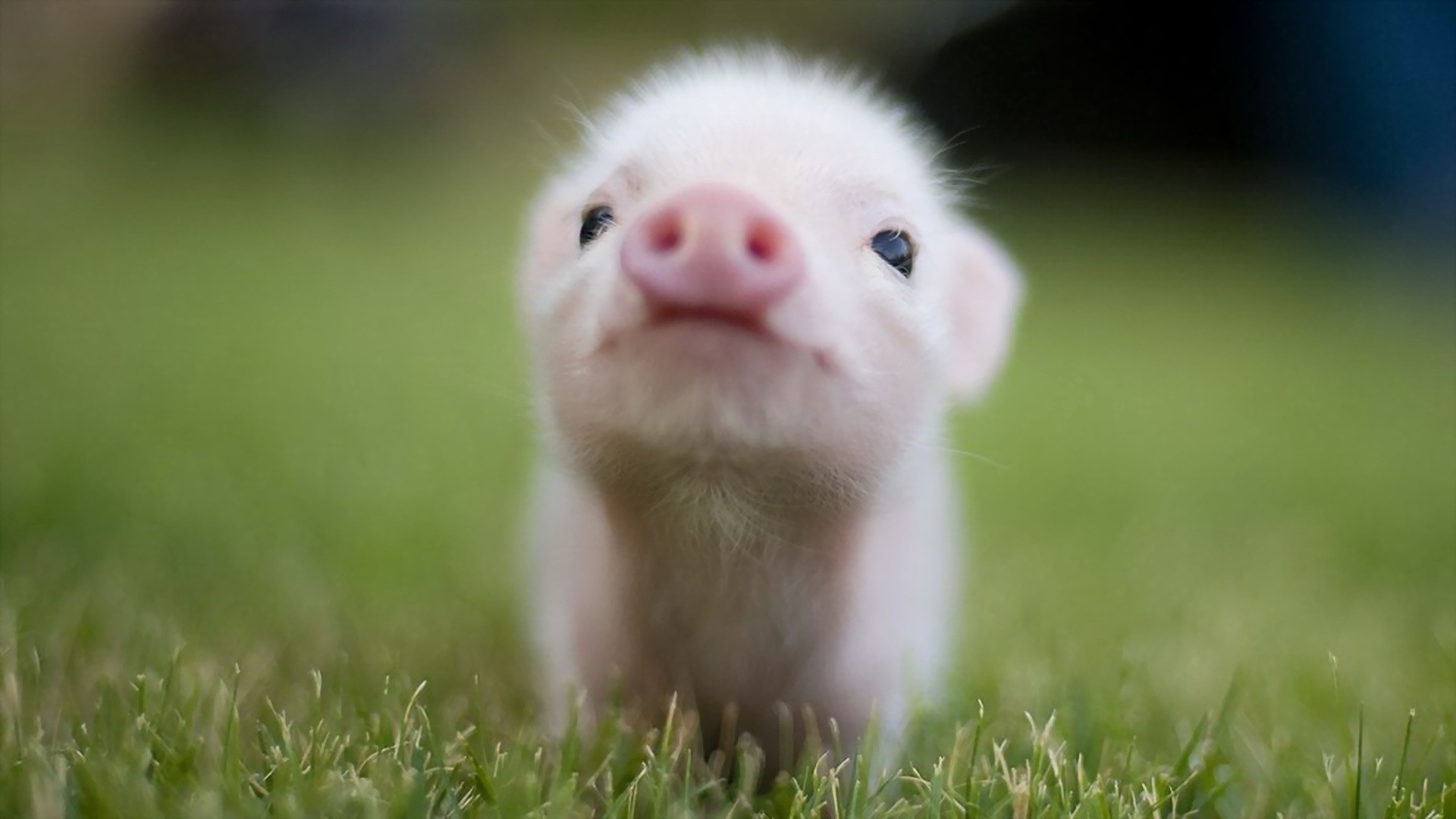 Teacup Pigs in Connecticut
